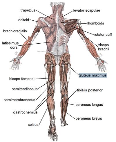 Le muscle le plus puissant du corps humain est la langue, vrai ou faux ? Grand_fessier
