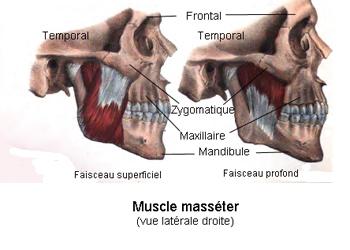 Le muscle le plus puissant du corps humain est la langue, vrai ou faux ? Masseter