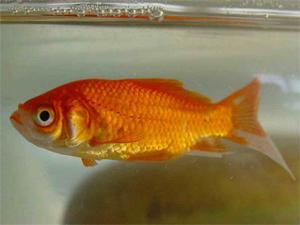 D o viennent les poissons rouges for Faux poisson rouge