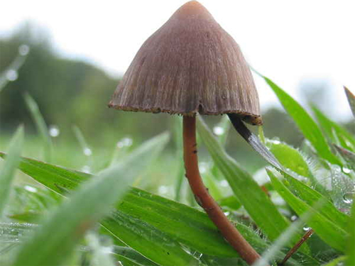 Les champignons hallucinogènes - JeSuisCultive.com